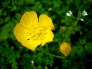 Terapias alternativas: Flores de California