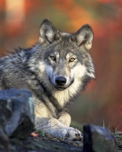 Cuentos para pensar la lucha de los dos lobos