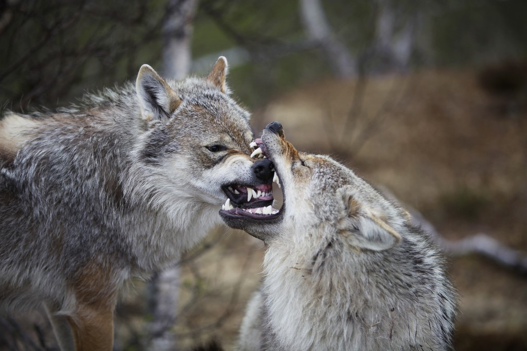 Cuentos para pensar: la lucha de los dos lobos