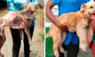 Perros abandonados ¡el antes y el después de ser rescatados!