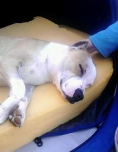 La historia de Yak, el perro que fue maltratado por no querer pelear 1