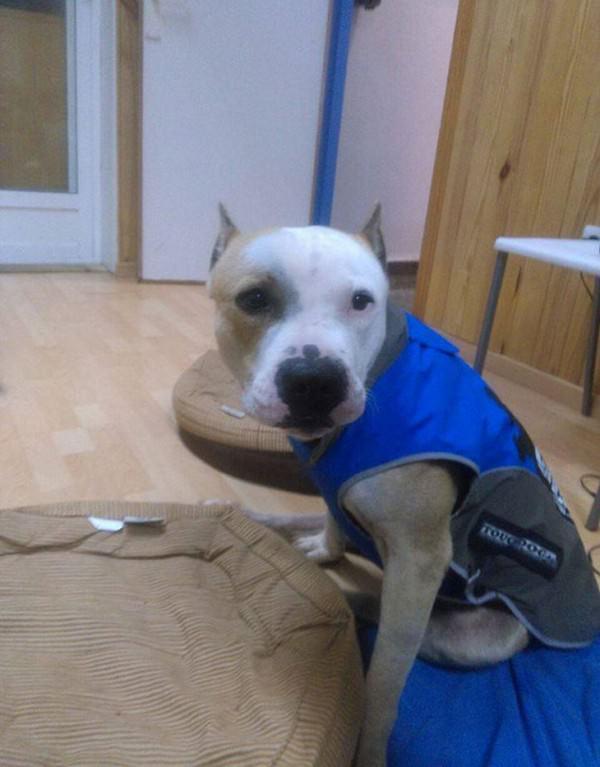 La historia de Yak, el perro que fue maltratado por no querer pelear 5