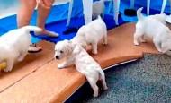 ¡Mira cómo aprender a nadar estos pequeños cachorros!